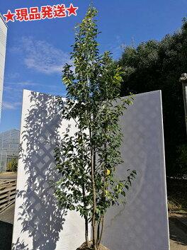 繊細な常緑樹ソヨゴ
