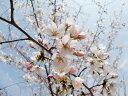 春の入学シーズンを彩る木【6カ月枯れ保証】桜「ソメイヨシノ」 苗木 1.2m程度