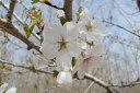白い一重咲き【6カ月枯れ保証】「オオシマザクラ」 苗木 1.2m程度