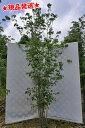 ヤマボウシ 白花 株立 2.6m-2.7m程度(根鉢含まず) 落葉樹