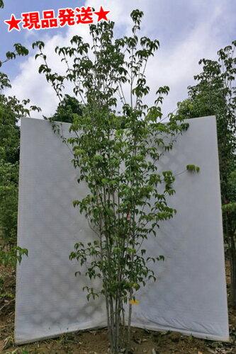 ヤマボウシ 白花 株立 2.6m-2.7m程度(根鉢含まず)