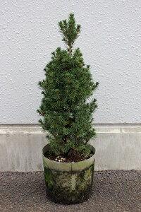 ドワーフガーデンにオススメ!【1ポット?】「コニカ」 樹高0.5m程度 ポット直径21cm