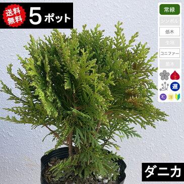 【送料無料】【5ポット】コニファー ダニカ ポット直径15cm 樹高20cm〜30cm程度