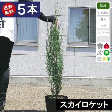 【5本】【送料無料】コニファー スカイロケット 樹高80cm程度 ポット直径21cm