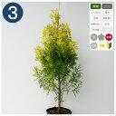 3本 / ヨーロッパゴールド 樹高70cm程度 ポット直径21cm コニファー