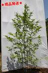 ナツツバキ 夏椿 株立 2.0m-2.6m程度(根鉢含まず) 庭木 シンボルツリー 落葉樹