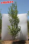 ナツツバキ 夏椿 株立 1.9m-2.1m程度(根鉢含まず) 落葉樹 庭木