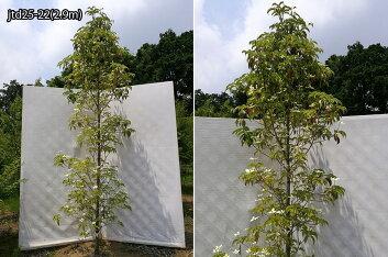 樹形:jtd25-22