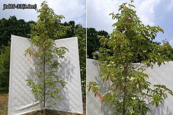 樹形:jtd25-33