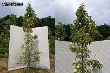 樹形:jtd26-37