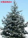 """ピセア プンゲンス """"ホプシー"""" 樹高60cm〜80cm ポット直径21cm"""