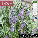 【1ポット】フイリヤブラン(斑入りヤブラン) 高さ10〜15
