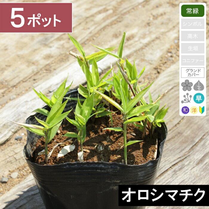 【5ポット】 「オロシマチク」 高さ5〜10cm程度 ポット苗直径10.5cm