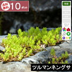 【10ポット】【送料無料】「ツルマンネングサ」 幅10〜15cm程度 ポット苗直径9cm