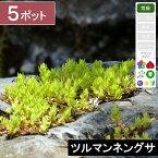 【5ポット】「ツルマンネングサ」 幅10〜15cm程度 ポット苗直径9cm