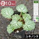 【10ポット】【送料無料】ユキノシタ 幅10cm〜15cm程...