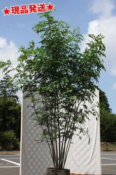 花もきれいな人気の常緑樹シマトネリコ株立ち