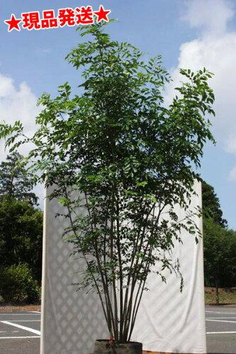 シマトネリコ 株立2.2m-2.5m程度 (根鉢含まず)