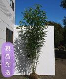 人気の常緑樹シマトネリコ株立ち