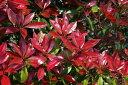 真っ赤な新芽「レッドロビン(ベニカナメモチ)」 1.2m程度