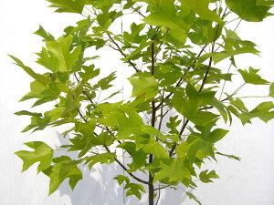百合の木【6カ月枯れ保証】「ユリノキ」 苗木 0.3m程度