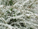 春を彩る清楚な花【6カ月枯れ保証】「ユキヤナギ(雪柳)」 0.3m程度