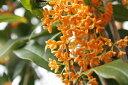 秋に綺麗な花と芳香【6カ月枯れ保証】「キンモクセイ」 苗木 0.3m程度