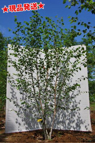 白樺 シラカバ「ジャクモンティー」 株立 2.2m-2.3m程度(根鉢含まず)