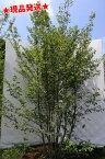 ヒメシャラ 株立 1.9m-2.2m程度(根鉢含まず) 庭木 落葉樹