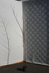 幹肌が白い木【6カ月枯れ保証】「シラカバ(白樺)」 苗木 0.6m程度
