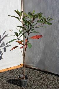 【6カ月枯れ保証】「ホルトノキ」 苗木 0.5m程度