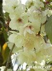 桜 ウコン桜(欝金) 樹高0.5m〜1.2m程度 ポット直径15cm