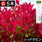 ◆送料無料◆【5本】 レッドロビン(ベニカナメモチ)樹高70cm〜1.0m◆枯れ保証付き