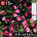 ◆送料無料◆【15本】 サザンカ「タチカン」 樹高50cm〜...