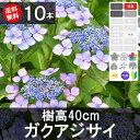 ◆送料無料◆【10本】 ガクアジサイ 樹高30cm〜50cm程度