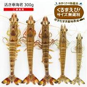 活き車海老300g(小さめサイズ15尾前後)ご家庭用クルマエビサイズ無選別大小混合