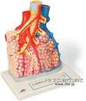 【送料無料】【無料健康相談 対象製品】世界基準 3Bサイエンフィティック社肺小葉と肺胞モデル 【fsp2124-6m】【02P06Aug16】
