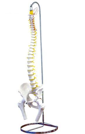 可動型脊柱模型 実物大 大腿骨付 ...