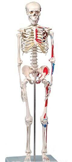 【無料健康相談 対象製品】3B社 ショーティー 1/2縮尺型全身骨格モデル 筋・起始/停止色表示型 直立モデル(A18/5)   【smtb-s】 【fsp2124-6m】【02P06Aug16】:Shop de clinic
