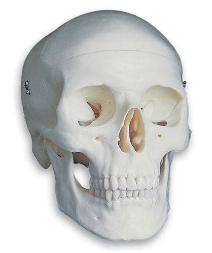 3B社 頭蓋骨模型 頭蓋標準モデル (a20) 【fsp2124-6m...