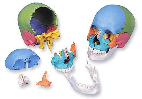 3B社 頭蓋骨模型 頭蓋骨22分解キットマルチ...