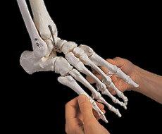 3B社 足骨格模型 A31/1 足の骨モデル脛骨・腓骨付き エ...