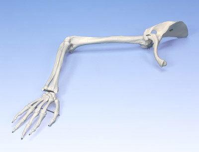 3B社 上肢骨模型 A46 上肢骨モデル上肢帯付 【smtb-...