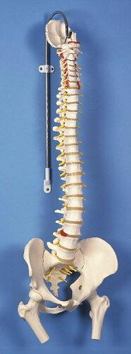 3B社 脊柱模型 脊柱可動型モデル大腿骨付 (a58-2) 【s...