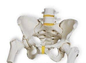 3B社骨盤模型 女性骨盤モデル大腿骨付(a62)smtb-s】 【fs...