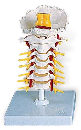 3B社 頚椎模型 頚椎モデル (a72) 【fsp21...