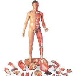 【送料無料】【無料健康相談 対象製品】3B社 人体解剖模型 筋肉解剖等身大両性型39分解モデルヨーロッパ仕様 (b53)