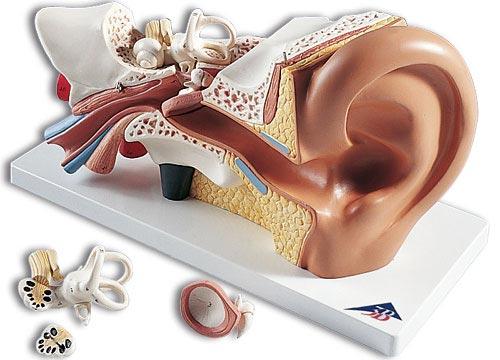 3B社 平衡聴覚器模型(耳模型) 平衡聴覚器3倍大・4分解モ...