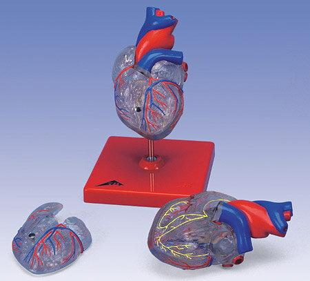 3B社 心臓模型 心臓透明型・2分解モデル刺激伝導系付 (g08-3) ...