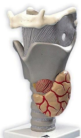 【送料無料】【無料健康相談 対象製品】3B社 喉頭模型 喉頭2.5倍大・デモ用モデル機能可動型 (g20)   【smtb-s】 【fsp2124-6m】【02P06Aug16】